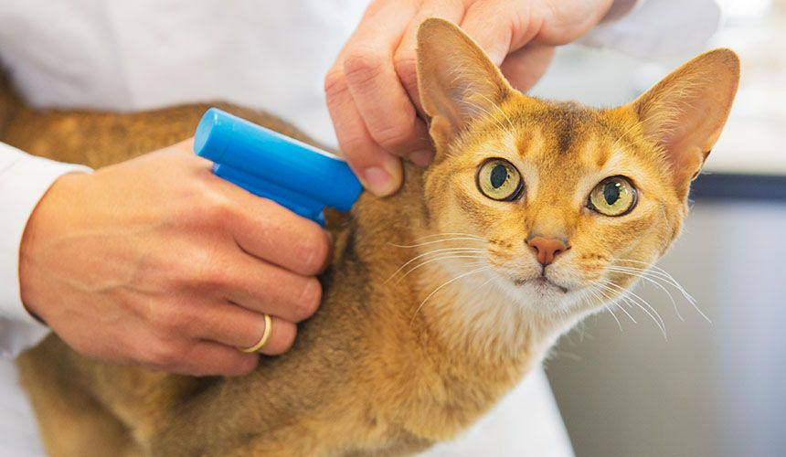 veterinarian wearing white coat inserting a microchip into orange short hair cat at kings crossing animal hospital